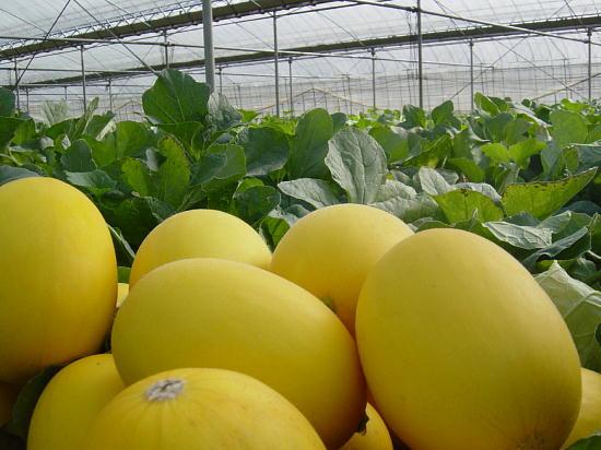 幸せの黄色いメロン